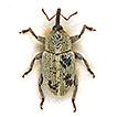 Zweiter Nachtrag zur Rüsselkäfer-Fauna d ...