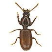 Trilophidius gemmatus sp. n., a new species ...