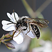 Hidden diversity in European bees: Andrena ...