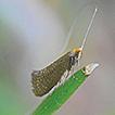 Revision der Nematopogon adansoniella-Artengruppe ...