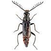 Liste commentée des Cleroidea (Coleoptera)  ...