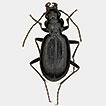 Nebria (Pseudonebriola) tsambagarav sp. ...
