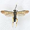 Key to the Macrophya zhaoae group (Hymenoptera, ...