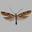 Nemapogon helveticola sp. nov. aus der ...