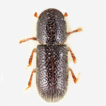 Annotated checklist of Scolytinae and ...