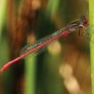 Rétablissement des communautés de libellules ( ...