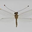 Owlflies from Jordan (Neuroptera, Ascalaphidae)