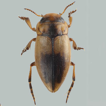 Two new species of Liodessus Guignot, ...