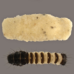 Rediscovery of Stactobia eatoniella McLachlan, ...
