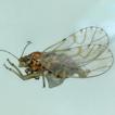 Mitrapsylla rupestris sp. nov., a psyllid ...